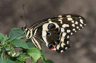 Papilio_demodocus.png